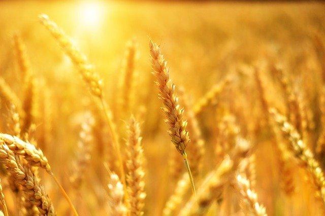 Цены на пшеницу в России начали снижаться после четырёхмесячного роста