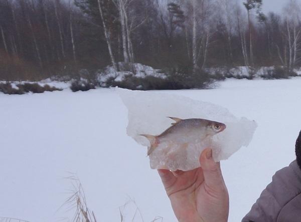 В Брянске рыба вмерзла в лед