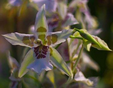 В Ботаническом саду МГУ распустились редкие орхидеи